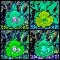 Pansy Quartet Two