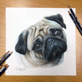 This Pug Is Very Confused?